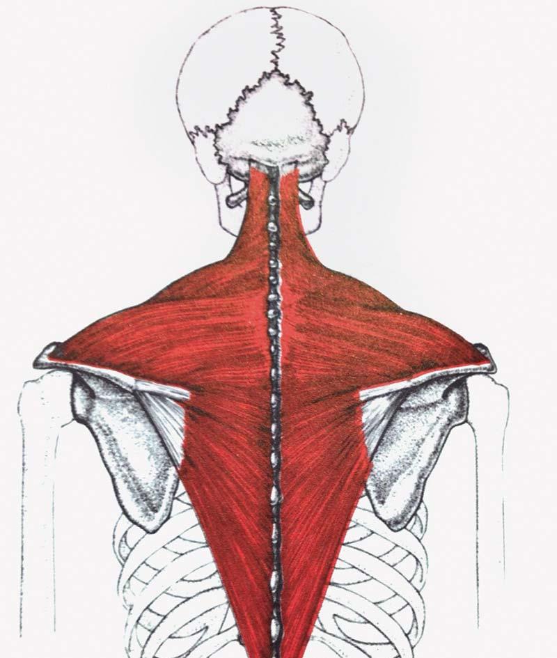 斜方肌_上背痛中斜方肌劳损|优1周-UWeekly