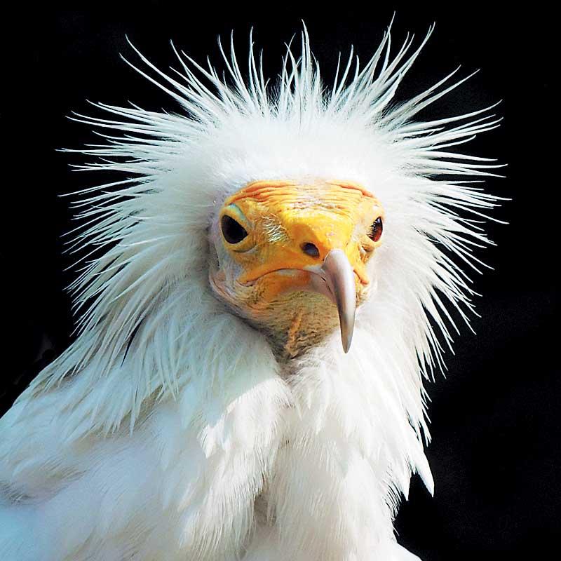 "Bob领航员 ""我是世界上第一只Parahawking秃鹰,每月带领游客飞行时数超过30个钟,你不用怀疑我呀? """