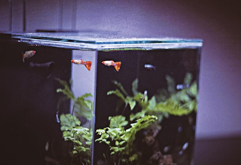 家有风水鱼 为了催旺姻缘,阿佘听高人指点在家中养了一缸风水鱼,她非常有耐性,每日亲自喂鱼。